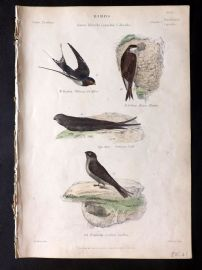 Richardson 1862 HC Bird Print. Chimney Swallow, House Martin, Common Swift